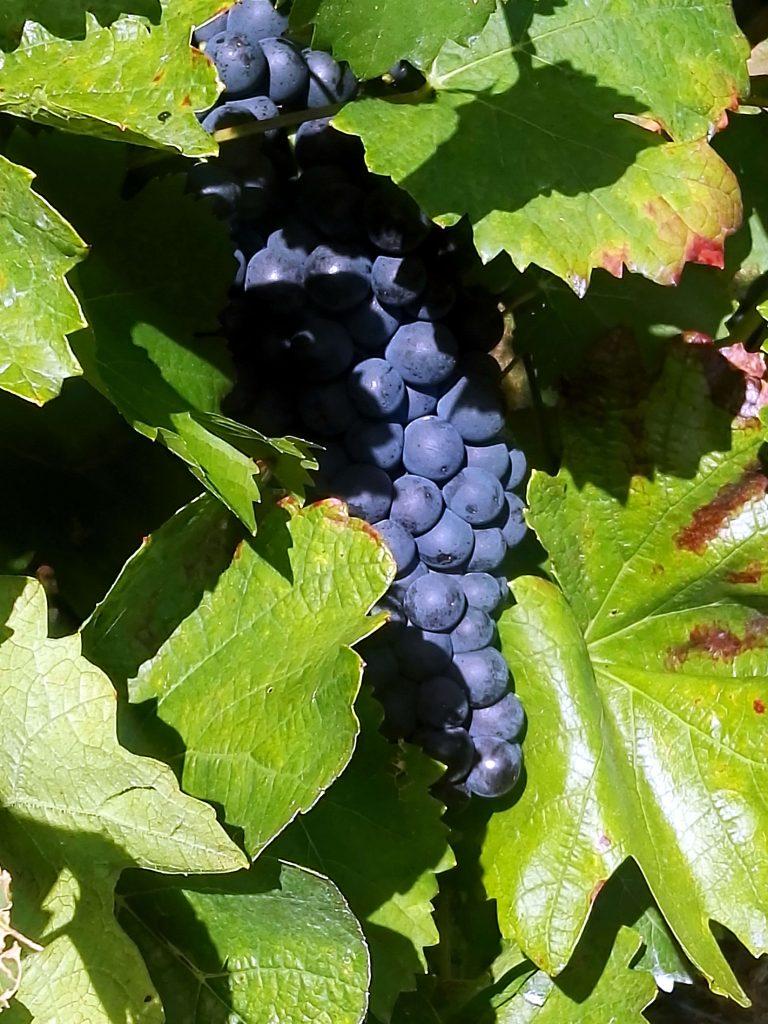 Weinblätter und Trauben